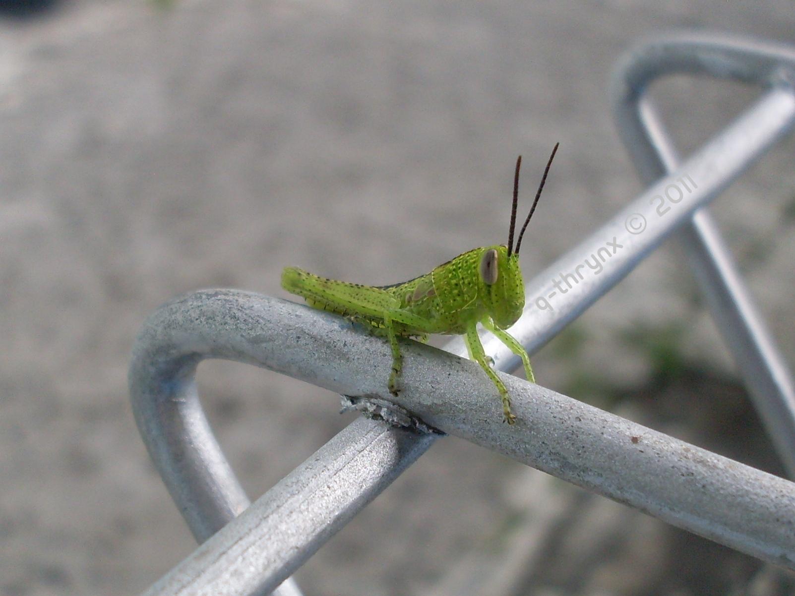 belalang (Caelifera)