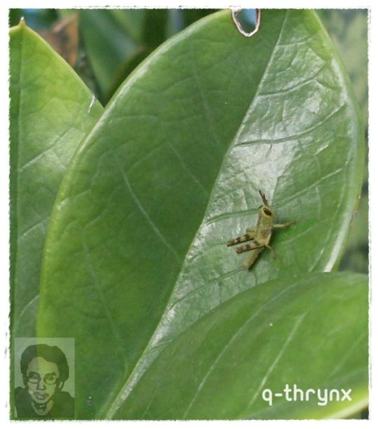 belalang kecil
