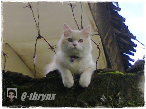 kucing_putih