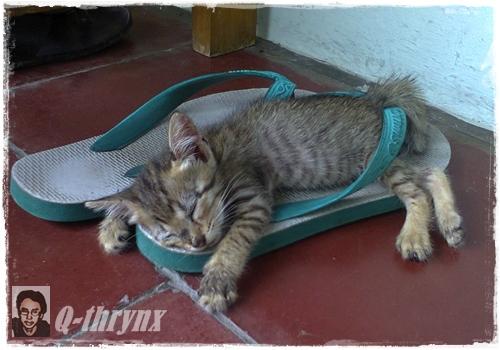 kucing_tidur_di_sandal