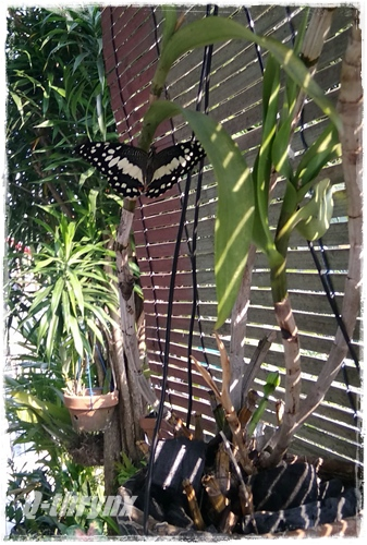kupu-kupu pamer sayap